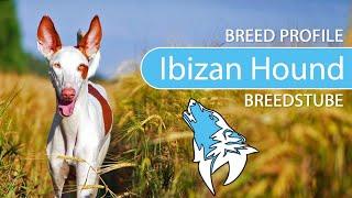 Ibizan Hound Breed, Temperament & Training