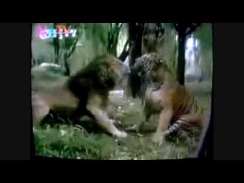 Male Siberian Tiger vs Asiatic Lion