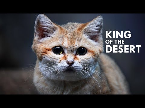 Sand Cat: The King of the Desert