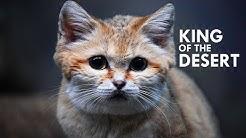 Sand Cat: The King of the Desert