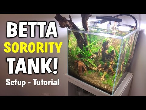 Betta Fish SORORITY TANK Setup - Multiple Betta Fish Aquarium