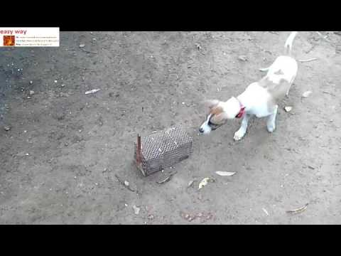 Dog Nb Cross breed Puppies angry on mouse (tan & gray colour) /the Jack Russell Terrier Puppie