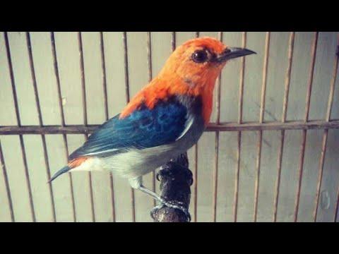 Kicau Burung Kemade | Sepahan | Cabean
