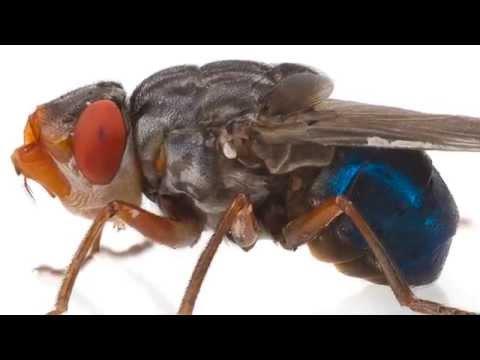 Horrible (+18) Naissance d'une larve de mouche dans un