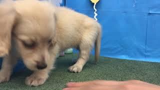 ペットショップ 犬の家 ○○店 「品種名」「問い合わせ番号」 thumbnail