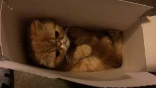 Exotic Shorthair Kitten Playing in a Box