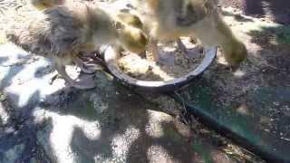 уход за гусями в домашних условиях