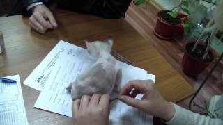 Котенок корниш-рекс Анабель Скиф