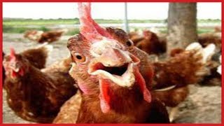 FUNNY Roosters Crowing Compilation ✔