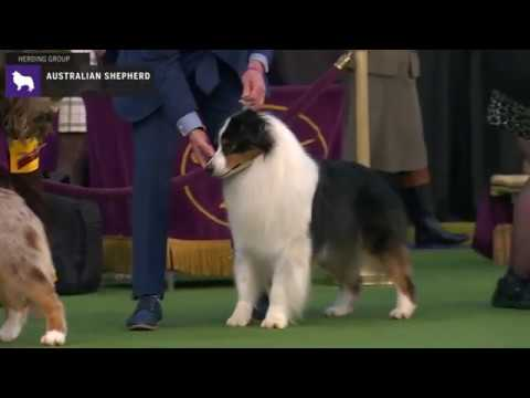 Australian Shepherds | Breed Judging 2020