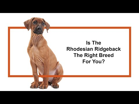Everything Puppies - Rhodesian Ridgeback Breed Information (2019)