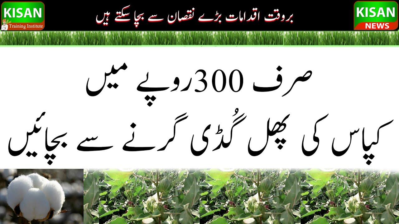 How to save cotton blossom and boll| |صرف300روپے میں کپاس کی پھل گُڈی کو گرنے سے بچائیں