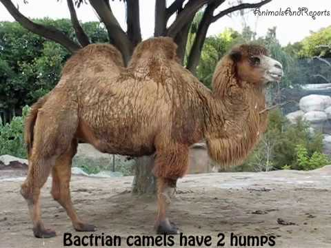 Camels Playing Around