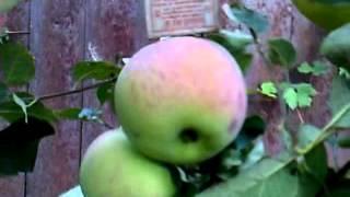 Яблоки зимние сорта