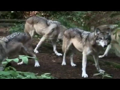 The County Seat   Mexican Grey Wolves in Utah