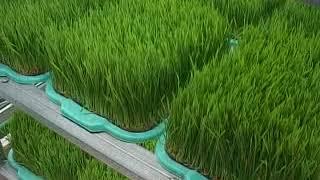 сок ростокв пшеницы жизнь