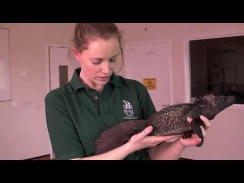 Animal health and husbandry: lizard health check