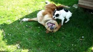 Coco (Bulldog frances ) ataca a Leon (mastin) thumbnail