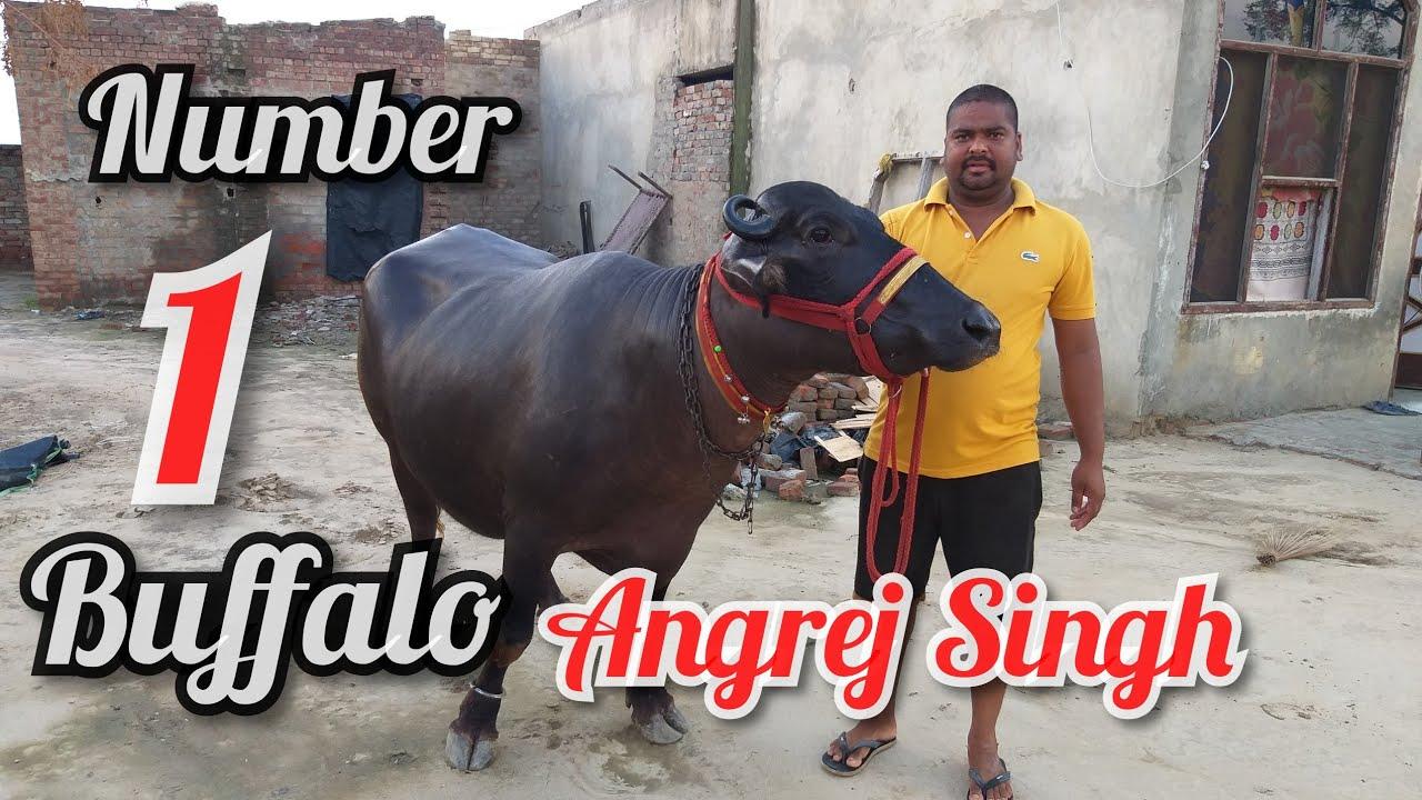 #Karte#hain#rate#Jazz#Murrah#buffalo Ph 07009492709👈 date 30-7-2019 one  animal sale Angrej Singh