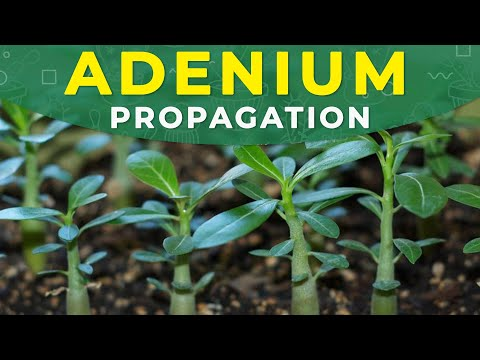 How to grow Adenium from seeds? Germination period, fertilizing