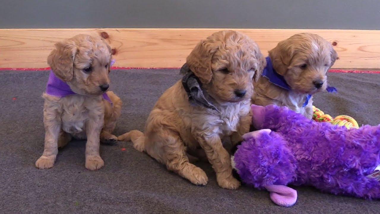 Dakotah's F1b Mini Goldendoodle Puppies on 3/8/2018