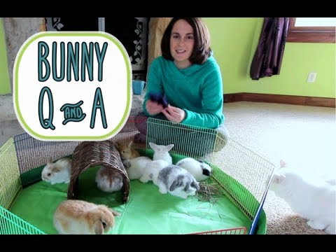 Holland Lop Bunny Q&A - and Baby Bunny Update