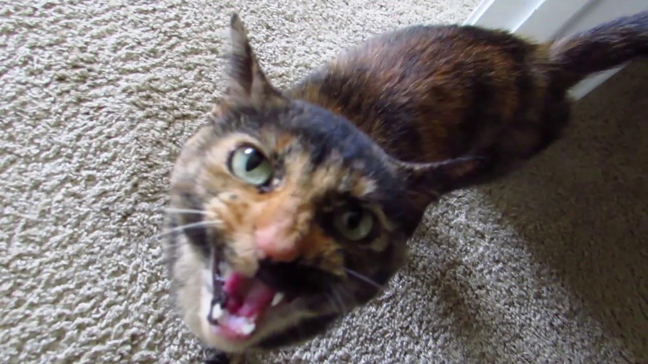 Twiggy the vocal tortoiseshell cat youtube - Images of tortoiseshell cats ...