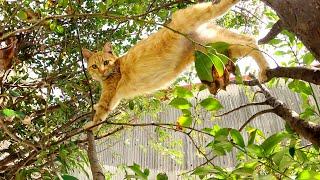 細い木の枝をサルのように移動する茶トラ猫