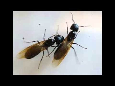 carpenter ants with wings