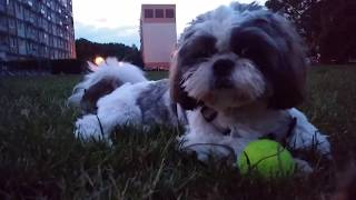 Shih Tzu RUN VINE