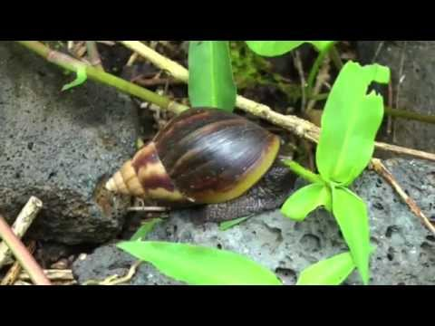 Giant African Land Snail | Achatina fulica | HD Video