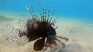 המלחמה בדג הקטלני בישראל: הזהרון מאיים לחסל את השמורות בים התיכון
