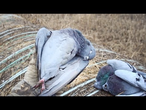 Pigeons ARE Delicious! | New Years Pigeon & Dove Hunt and Cook Mp3