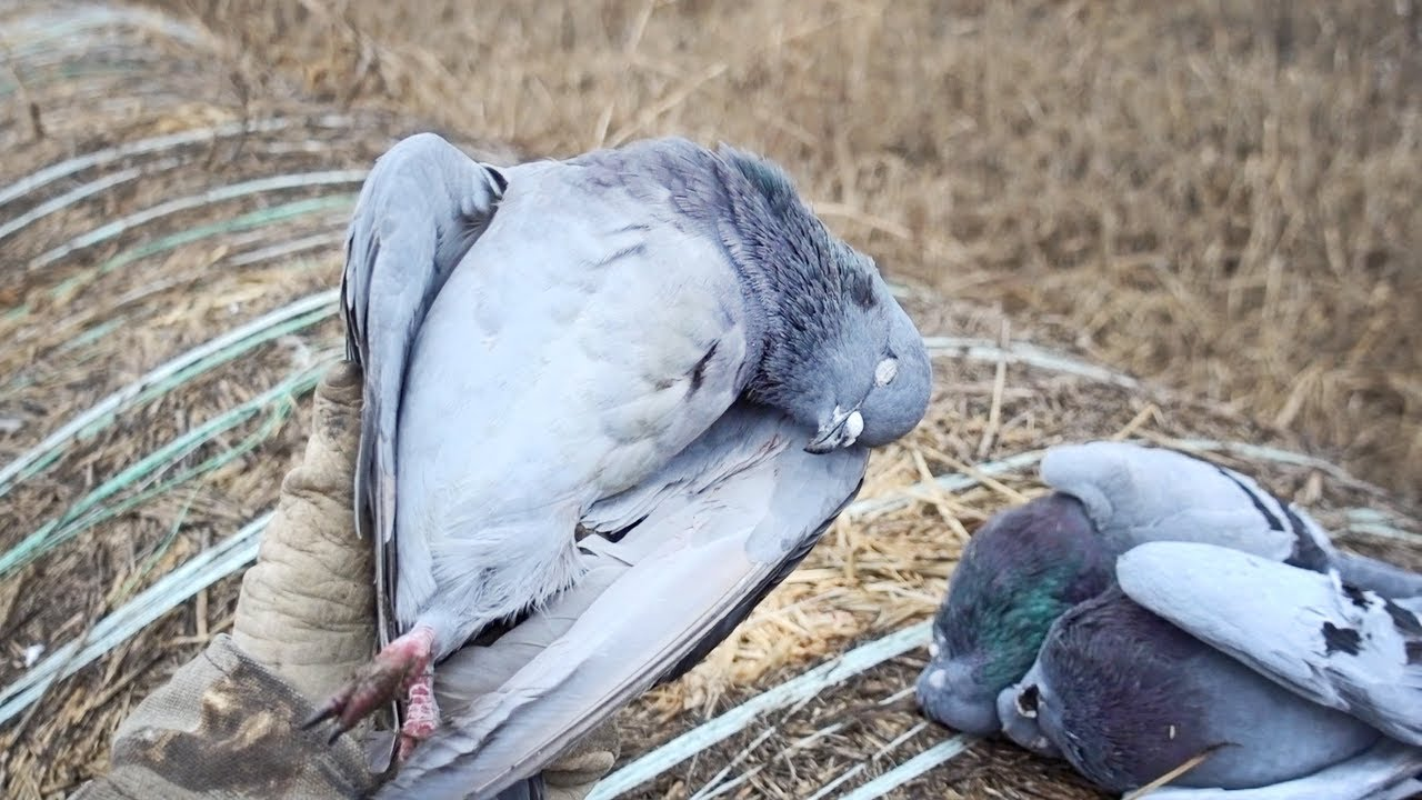 pigeons-are-delicious-new-years-pigeon-dove-hunt-and-cook