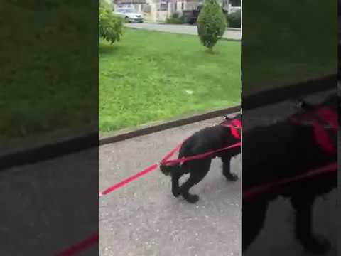 Dog Carting with Bouvier des Flandres