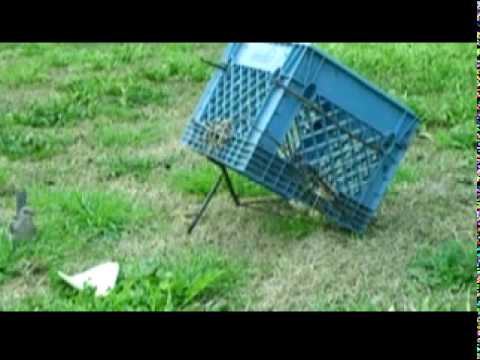 Image result for shoe box bird traps pictures