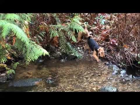 Darwyn Welsh Terriers love exploring the stream