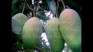 Jual Bibit Mangga di Bengkulu Hub.0812 160 5732