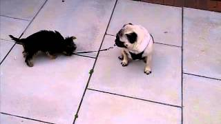 When Pug Meets Yorkie
