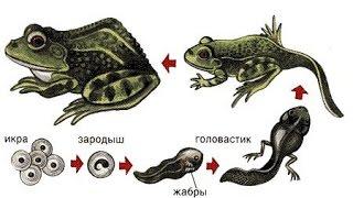 Рост и развитие животных. Биология 6 класс.