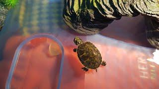 [거북이 키우기] 거북이는 밥주는사람을 알아본다? 장수…
