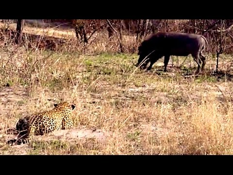 Biggest Leopard Hunt Fail Ever! - Latest Wildlife Sightings