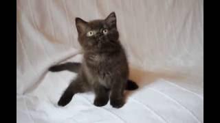 Британский котенок шоколадного окраса в питомнике British House  кот