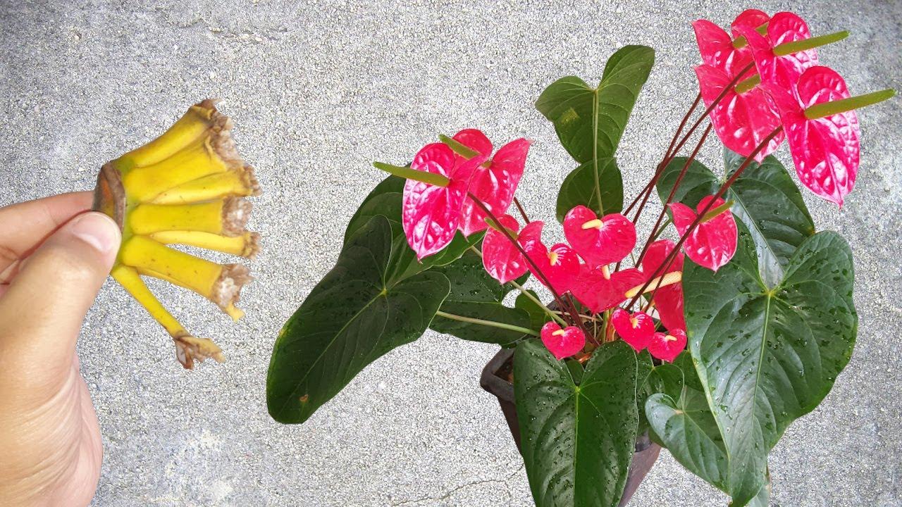 Antúrio lotado de flores! Use este adubo simples e veja o resultado! qualquer planta