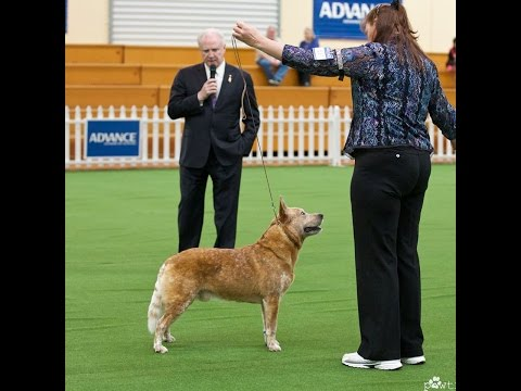 Australian Cattle Dog Royal Adelaide Show 2014