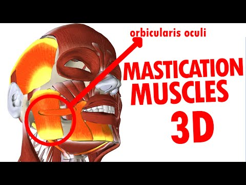 Muscles of Mastication - Jaw And Mandible - Face Anatomy part 3