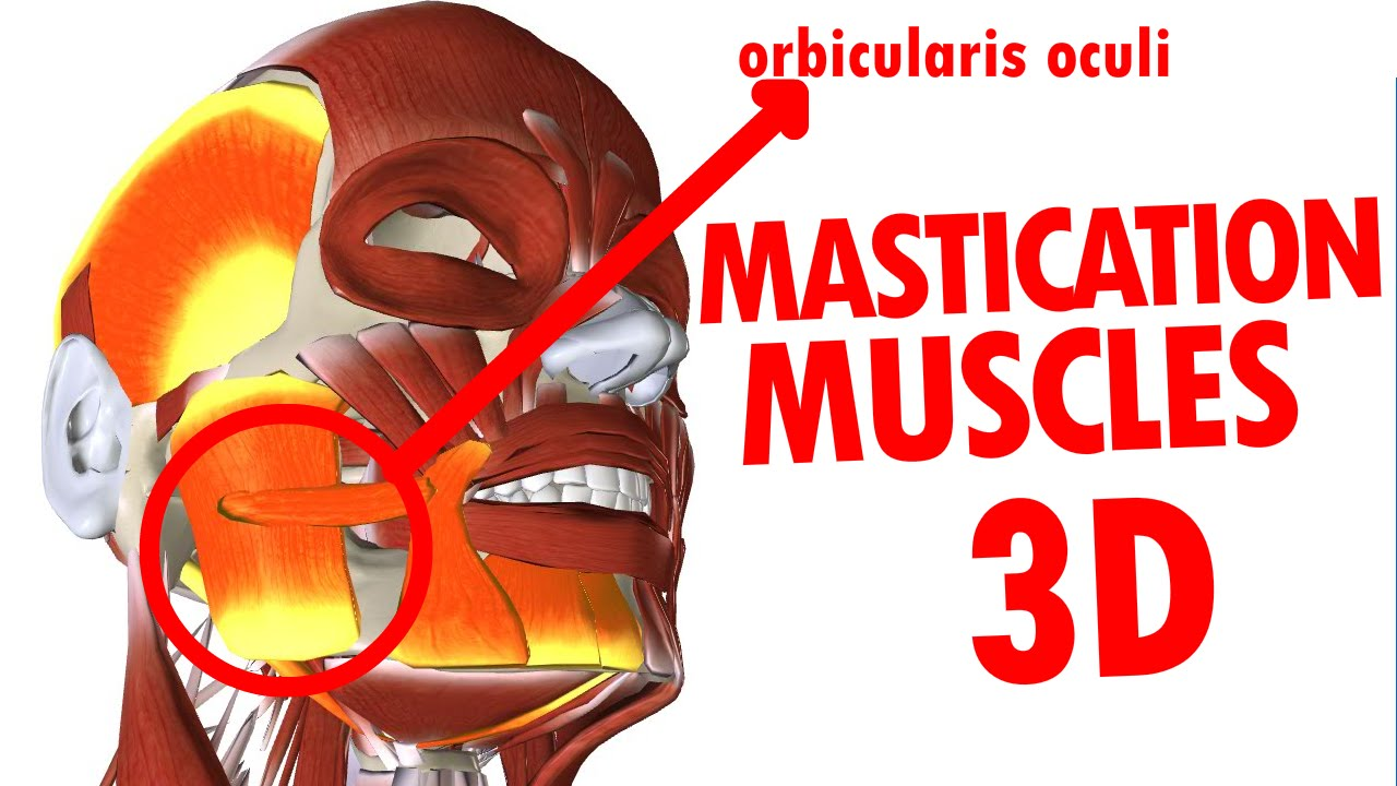 Muscles of Mastication - Jaw And Mandible - Face Anatomy part 3 ...