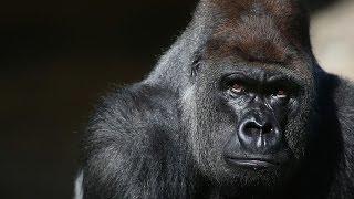 الشرطة الأمريكية تفتح تحقيقا بشأن قتل غوريلا مهددة بالإنقراض