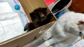 Tiny Persian kittens play and Fight Mom's comes for rescue