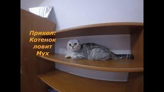 Котенок против Мух 🐱 Смешная Кошка Бесится Скоттиш Фолд Kitten vs fly Cats playing